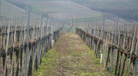 Vino biologico in Veneto, alla scoperta dell'Azienda Agricola Massimo Mutta